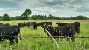 Cattle on summer pasture