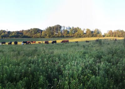 Cattle herd Cannington Ontario