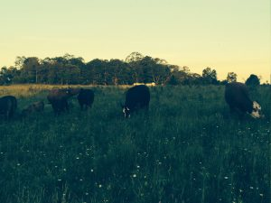 Pasture in the evening