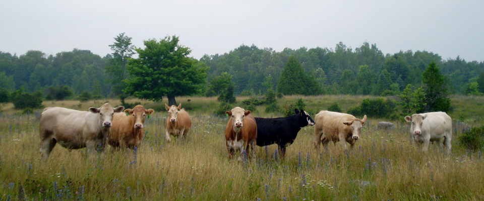 The Grassland of the Carden Plain are rich for our cattle herd's nutritional needs.
